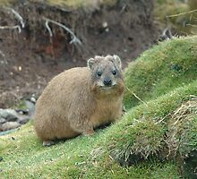 Rock Hyrax, Mt Kenya, AFRICA by Paul Stewart