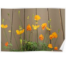 summer wild yellow poppy flowers and light brown wooden wall background. Poster