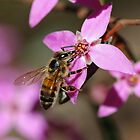 Spring, Boronia and the Honey  Bee by Paul Stewart