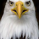Sam the bald eagle. by Carole Stevens