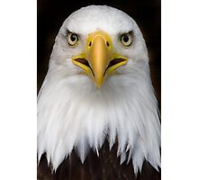 Sam the bald eagle. Photographic Print