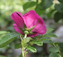pretty pink rose flower and green leaves. by naturematters