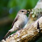 Duski Flycatcher by photowes