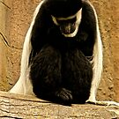 The Colobus Contemplation by Laddie Halupa