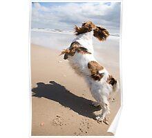 Springer Spaniel jumping on beach Poster