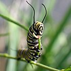 Monarch Caterpillar - 15 by Donna R. Carter