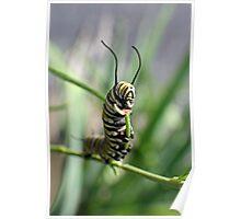 Monarch Caterpillar - 15 Poster