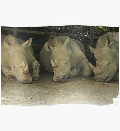 3 rhinos Poster