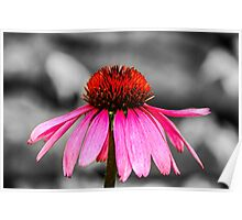 Purple Coneflower - SC Poster