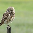 Burrowing Owl by Eivor Kuchta