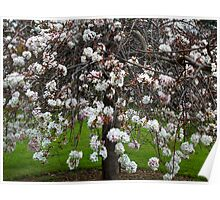 Weeping Cherry Tree Poster