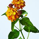 Lantana by Harry H Hicklin