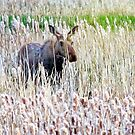 Mother Moose in Tall Grass by Nazareth