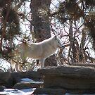 Wolf on a ridge by David Shaw