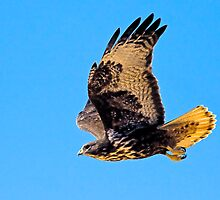 Harlan's Red Tail (Juvenile) by Marvin Collins