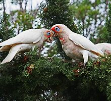 Long Billed Corellas by Evita