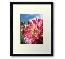Dahlia Glory no.2 Framed Print