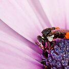 Bee loaded with pollen on purple flower by Richard Majlinder