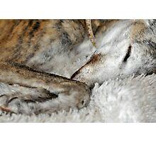 Sleeping greyhound Photographic Print