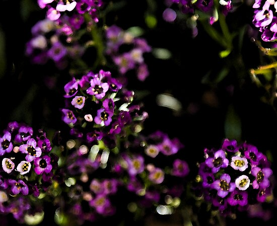 Purple Alyssum by Deborah McGrath