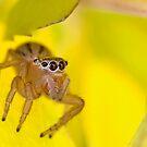 Jumping spider on a leaf by Richard Majlinder