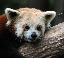 Red Panda  by Michelle BarlondSmith
