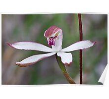 Hooded Caladenia - Stegostyla cucullata Poster