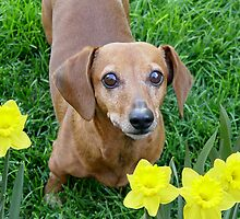 Rusty In The Daffodils by digitalmidge