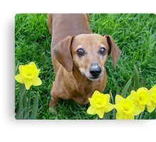Rusty In The Daffodils Canvas Print