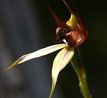 Leaping Spider Orchid by orpheus