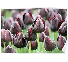 Tulip Rain Poster