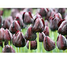 Tulip Rain Photographic Print