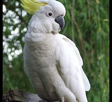 Sulphur Crested Cockatoo by ariete