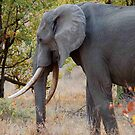 "TUSKERS OF ""THE KRUGER NATIONAL PARK"" by Magaret Meintjes"