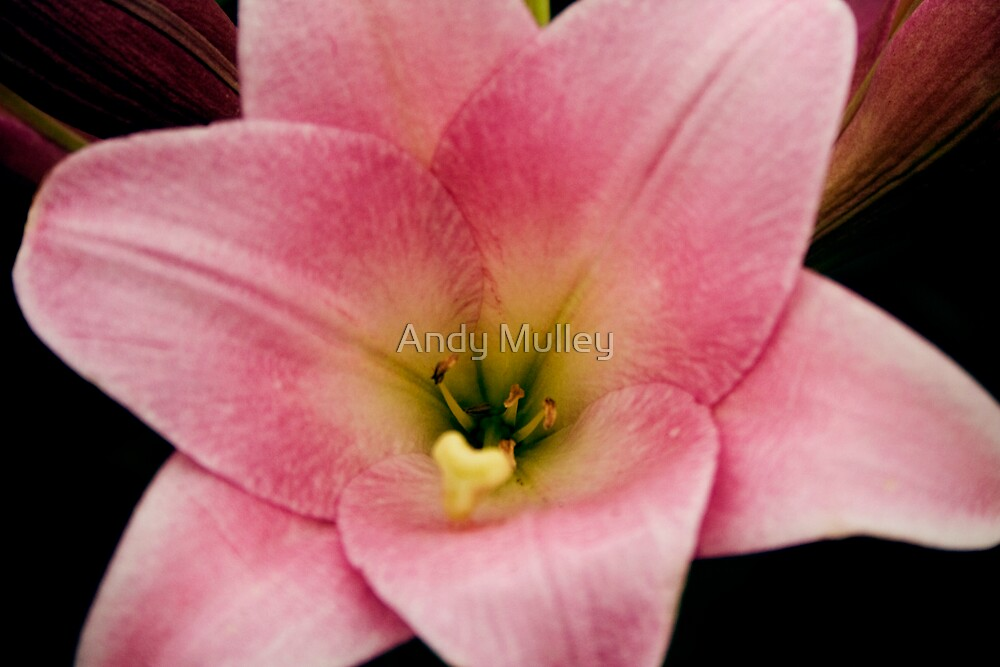 Pink Lily by Andy Mulley