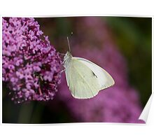 Large White Butterfly Poster