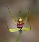 Narrow Lipped Spider Orchid by LeeoPhotography