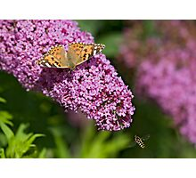 Painted lady and the Hoverfly Photographic Print
