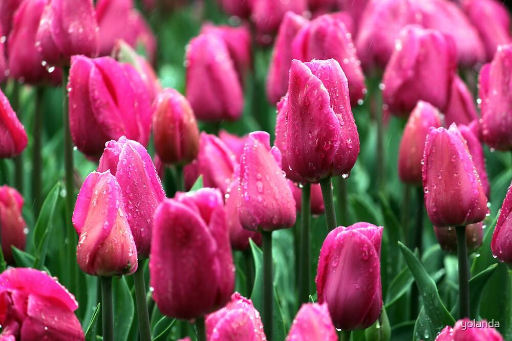 Pink Tulips by yolanda