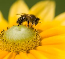 Honey bee washing his face! by Carole Stevens