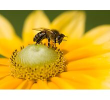Honey bee washing his face! Photographic Print