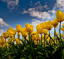 Yellow Tulips on a beautiful day by Mark Elshout