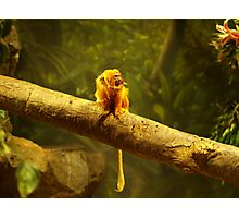 Golden- Lion Tamarin at Play Photographic Print
