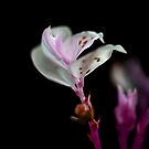 pink petals by jayantilalparma
