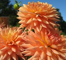 Peachy Dahlias no.2 by Orla Cahill Photography