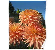 Peachy Dahlias no.2 Poster