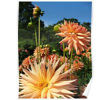 Peachy Dahlias no.3 Poster