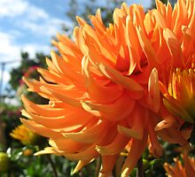 Peachy Dahlia by Orla Cahill Photography