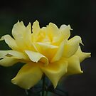 The Last Rose of Summer... by Carol Clifford