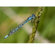 Blue Damselfly Photographic Print